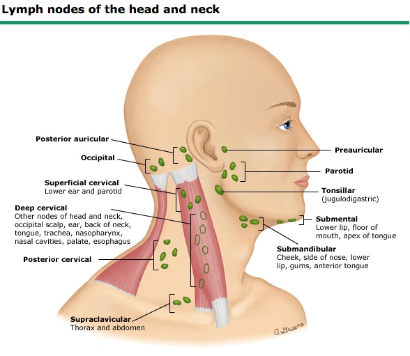 Lymph nodes the axillary region has nodes on the lateral chest high in the axilla and on the upper inner arm as in the following image ccuart Gallery